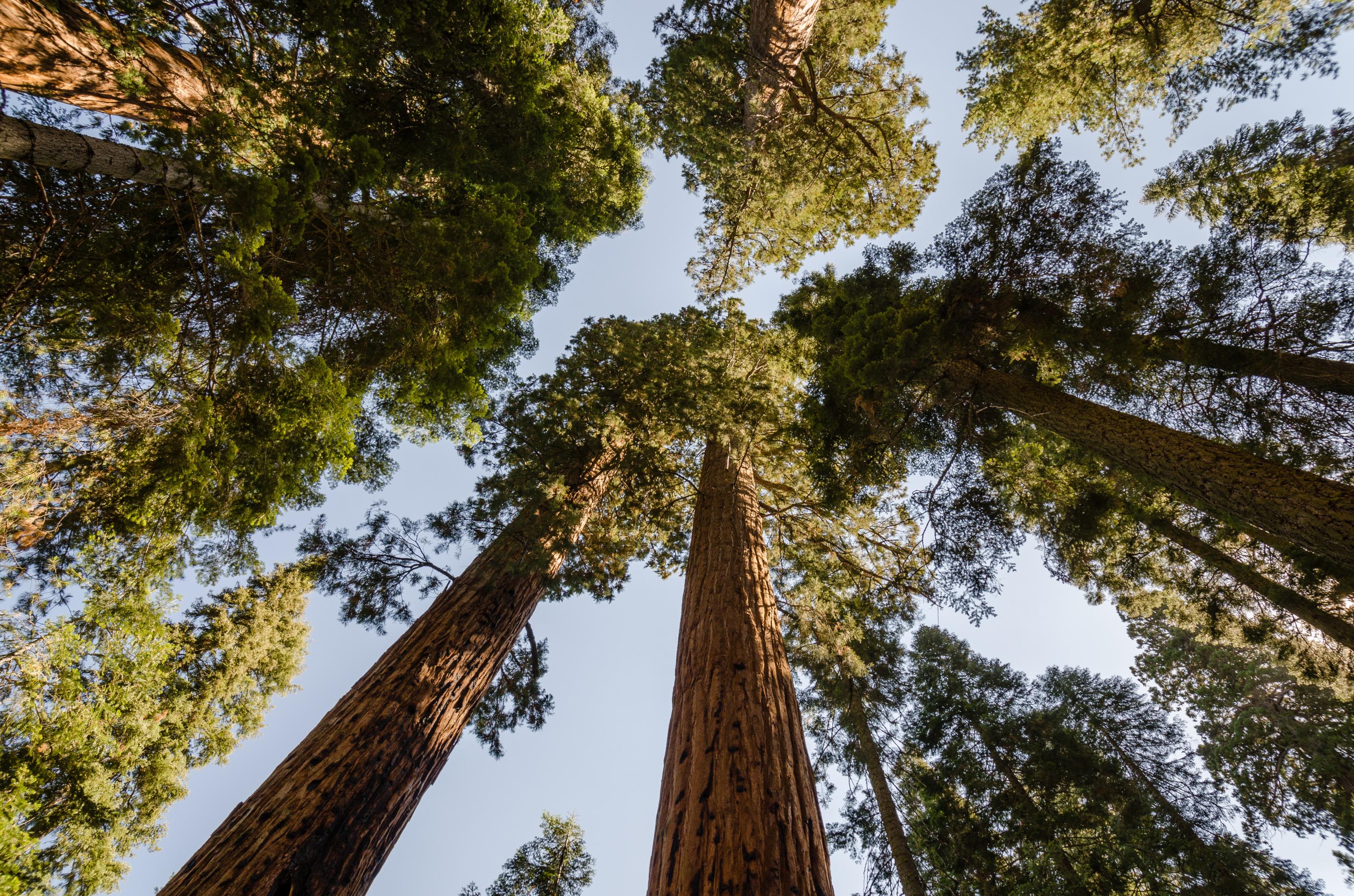 Obří sekvoje Sekvojovec obrovský stromy nebe