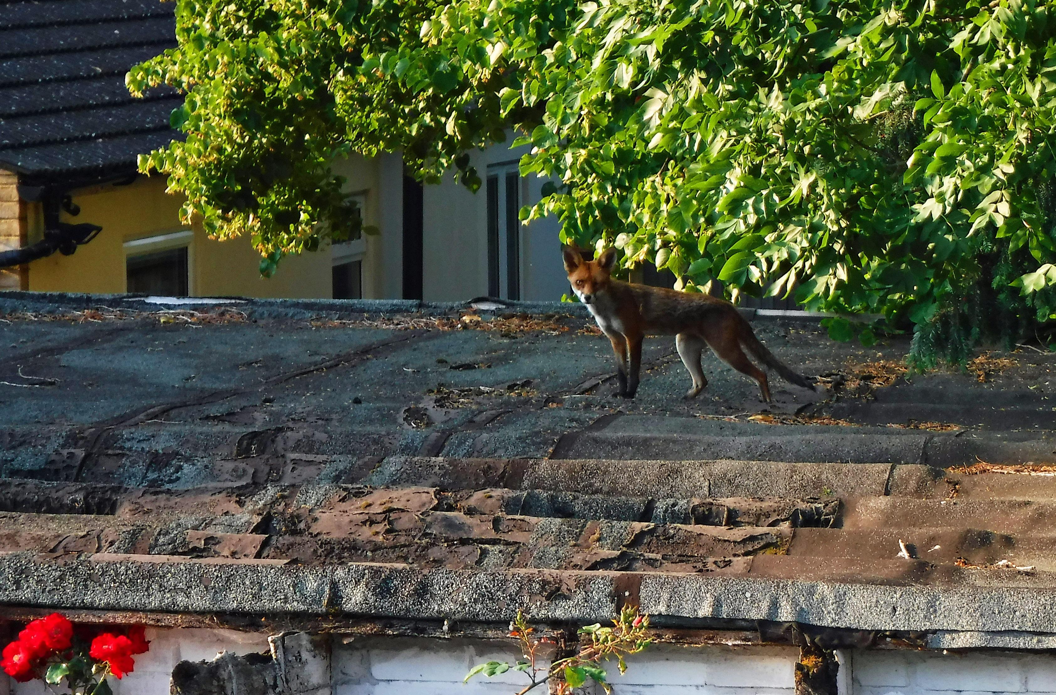 V Londýně žijí lišky