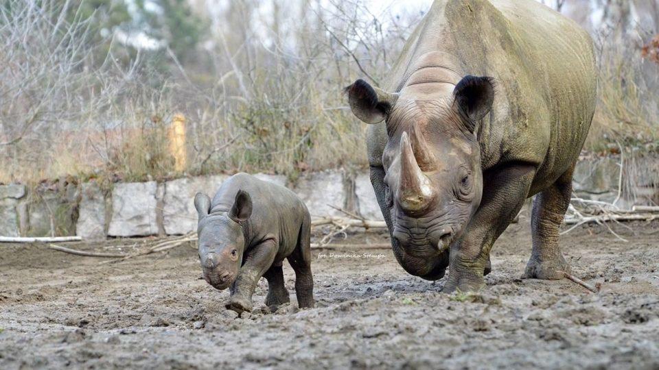 Safari Park Dvůr Králové se chlubí dalším odchovem nosorožce černého